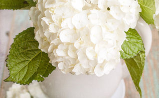 how to care for freshly cut hydrangeas, flowers, gardening, hydrangea, I did a little research to find more tips on how to care for them and was rewarded with beautiful fluffy flowers that lasted for days and days