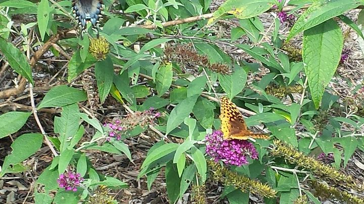 more butterfly garden pics, gardening, pets animals, new type of butterfly seen today