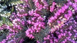q 52 of beautiful bounty arriving today in the nursery, gardening, Heather Erica darlyensis