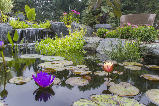 Gorgeous waterlilies provide pops of color at the surface of the pond.