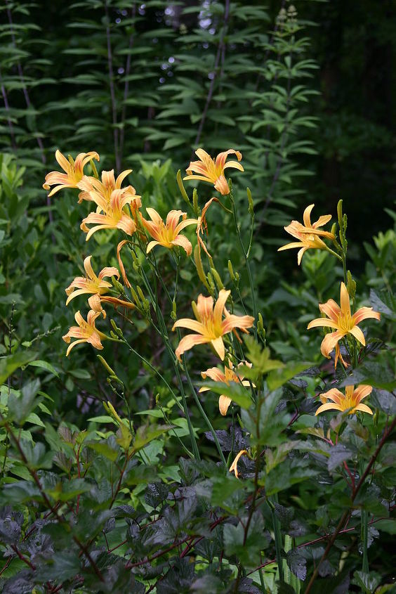 just had a great talk with vince the garden rebel and wanted to post a picture of, flowers, gardening, Hemerocallis Autumn Minaret