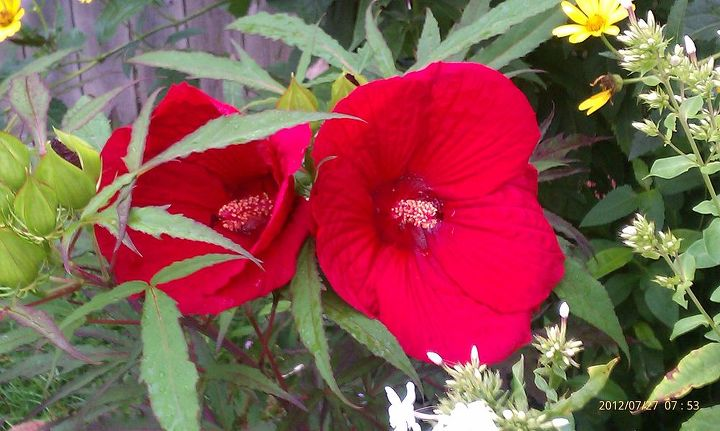 gardens hibiscus finally got a couple of blooms now to wait for the rest of them, flowers, gardening, hibiscus, hydrangea