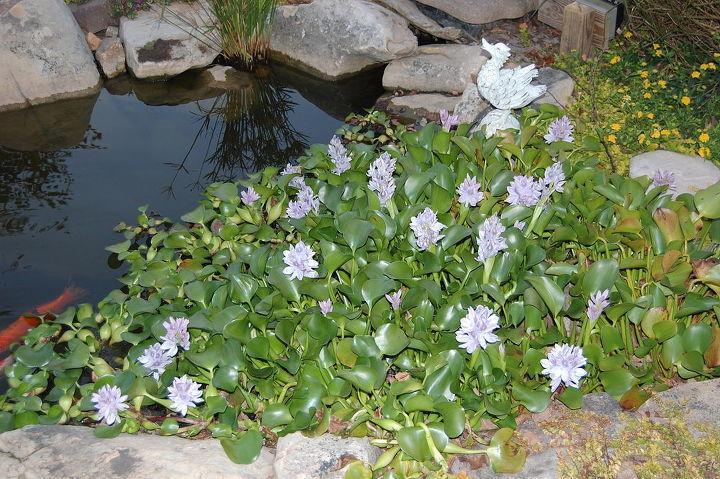 Water hyacinths.