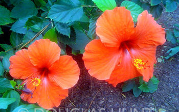 the colors of christmas florida style hope the day is merry and bright for everyone, flowers, gardening, hibiscus, outdoor living, Hibiscus blooming in my backyard on Christmas Eve