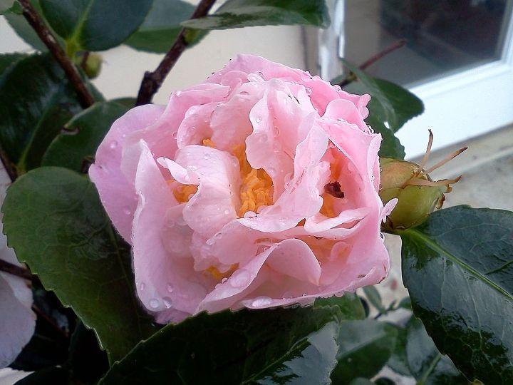 High Fragrance Camellia (smells like a rose)