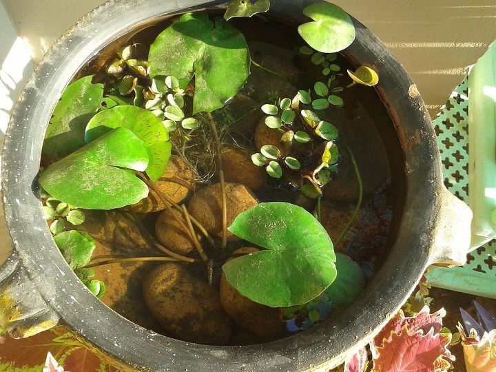 lily pond, container gardening, gardening, ponds water features