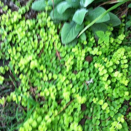 ground cover creeping jenny