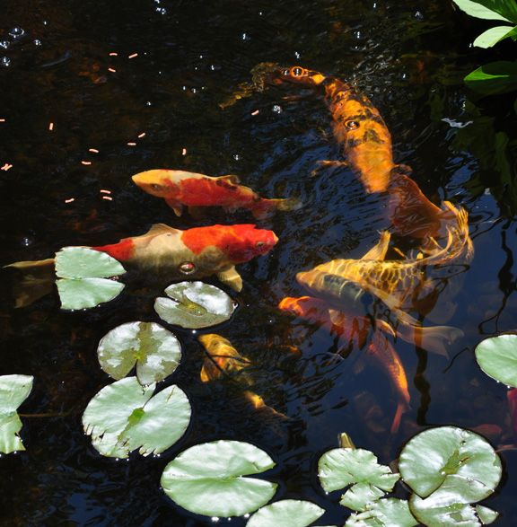 Watching fish darting around in a pond is simply mesmerizing.