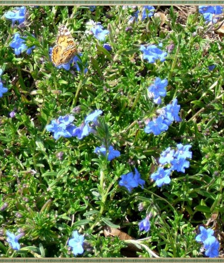 A baby Monarch butterfly kept me company while I was planting a new patch of Lithodora. I love having butterflies around all Spring, Summer and early Fall enjoying our flowers!