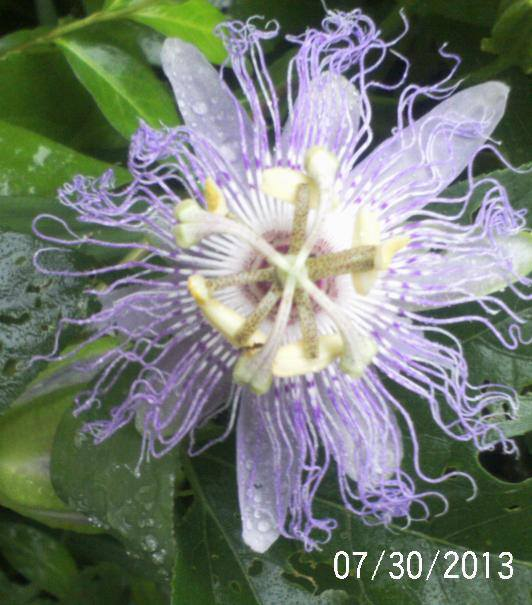 Common name is Passion Flower, Botanical Name- Passiflora incarnata. Medicinal