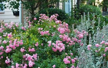 rosa the fairy in our hill garden, flowers, gardening, Rosa The Fairy in the Hill Garden