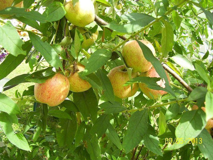 what type of apple, gardening