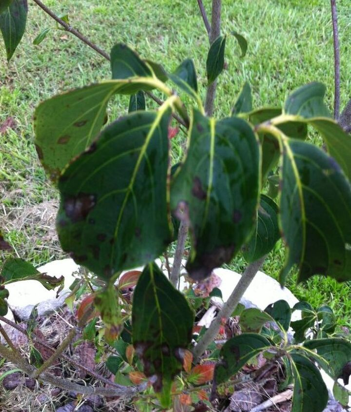 what s wrong with my dogwood, gardening