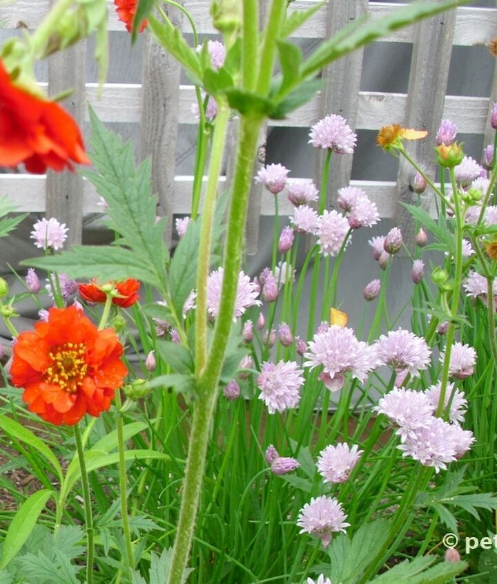 The pale color of the Alliums cools down the vibrancy of the red and orange Geum flowers.