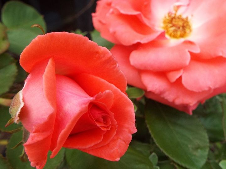 my beautiful roses smell like heaven, gardening