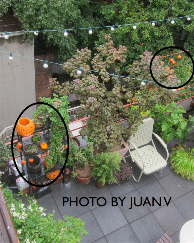 Halloween 2012. View 2. Black circle (R) indicates pumpkin lights strung along my bamboo trellis  urban hedge. The (L) circle shows Halloween decor on another urban hedge discussed @ http://bit.ly/17. #1+2 are now repurposed items.