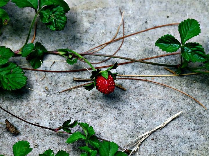 I have lots of wild strawberries that the animals love to eat.  It's rare I actually saw it before it was eaten!