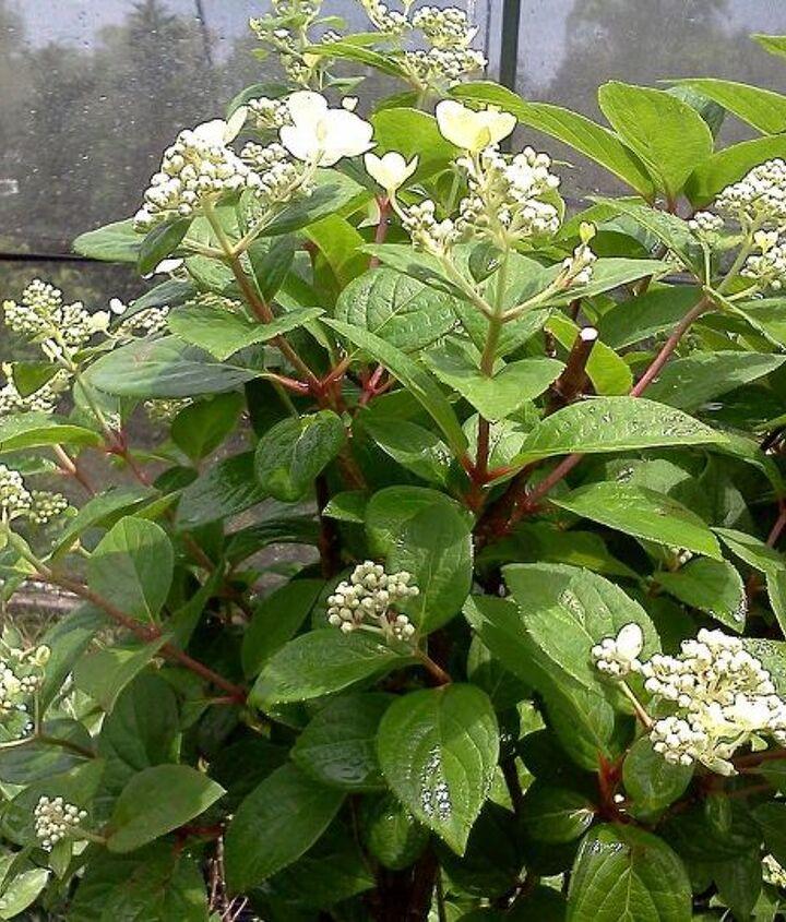 q heavenly hydrangeas, flowers, gardening, hydrangea
