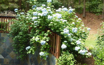 My giant hydrangea bush is popping!!!