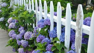 q i found these at the visitor s center in philadelphia has anyone ever seen a, gardening, Blue hydrangeas