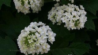 q heavenly hydrangeas, flowers, gardening, hydrangea, double flowered selection of oakleaf hydrangea