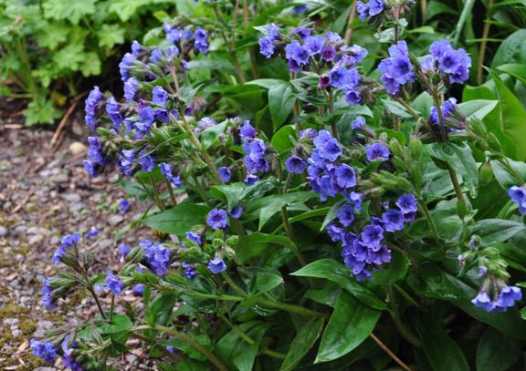 Cobalt blue colored Lungwort, Pulmonaria