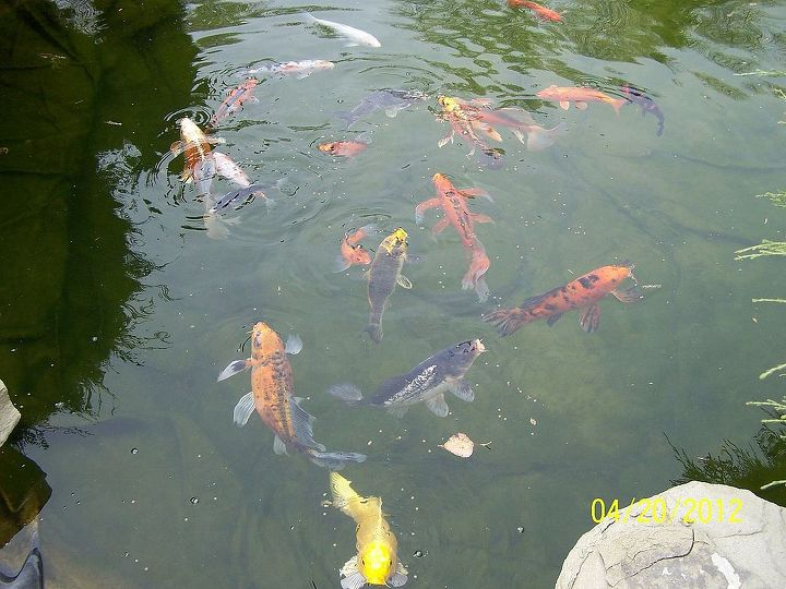 Some of the Koi in pond!