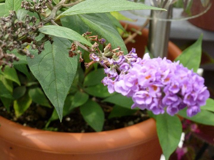 over wintering in a pot or plant now, flowers, gardening, perennials