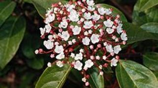 could use some help identifying this little plant, flowers, gardening, viburnum tinus