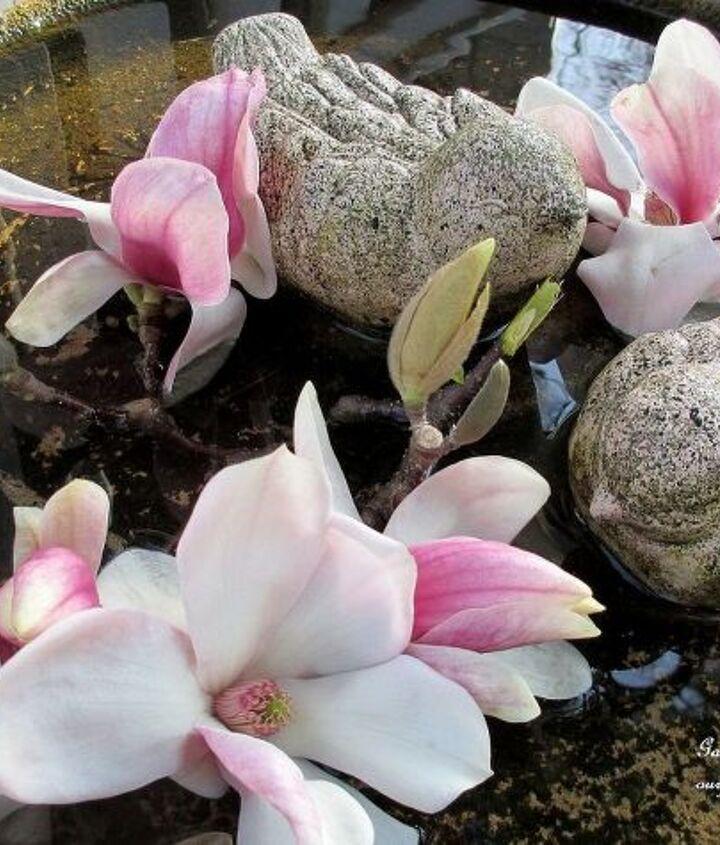 Tulip Magnolia blooms in the birdbath