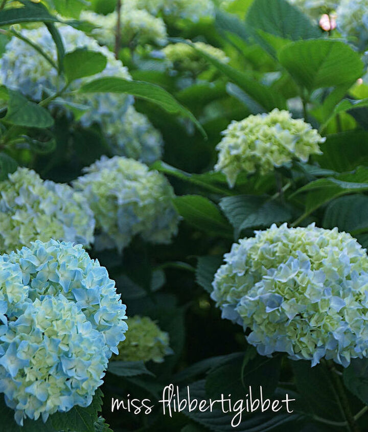 in love with hydrangeas, flowers, gardening, hydrangea
