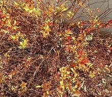 what kind of plants are these, flowers, gardening, Large bush with tiny fall colored leaves