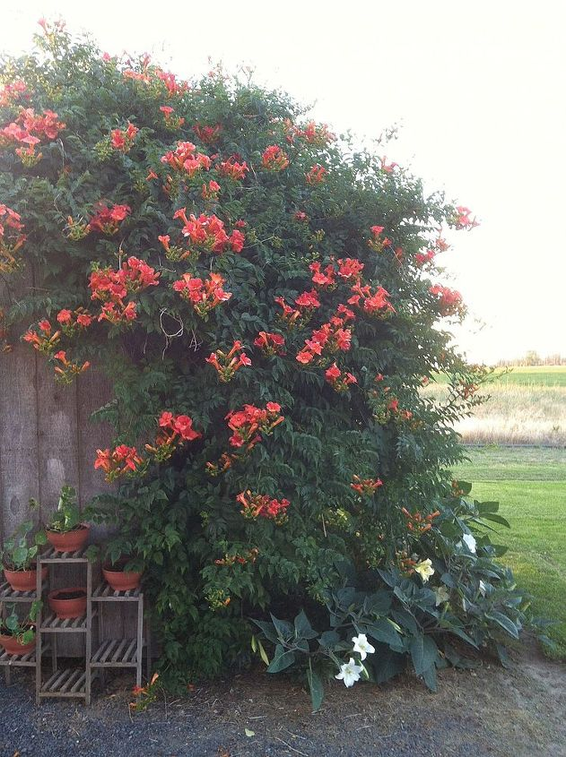 what is blooming in my yard today, flowers, gardening, Evening View of My Trumpet Vine against my Garden Shed with Lilies and Moon Flowers