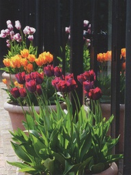 planting tulips and daffodils in pots, gardening