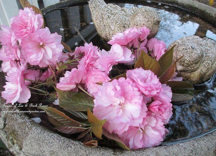 Flowering Cherry Blossoms dress the birdbath
