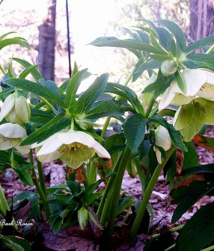 Hellebores announce the spring!