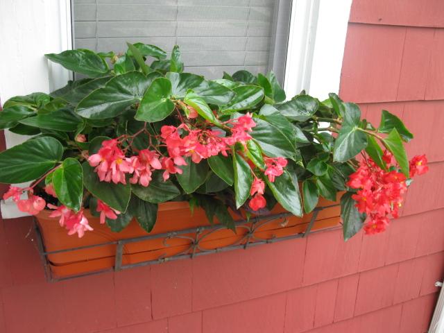 Begonias window box