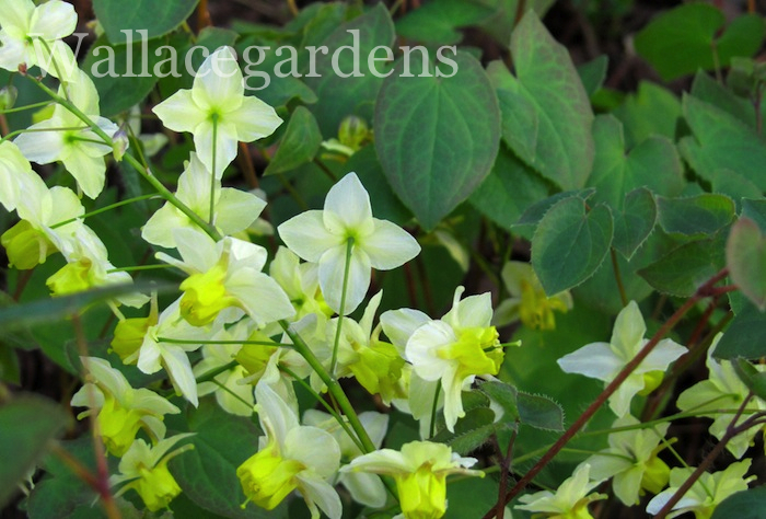 A lovely perennial: Epimedium, with its little orchid-like flowers in February.