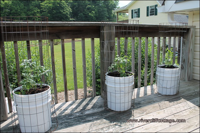 growing tomatoes in five gallon buckets hometalk - 5 Gallon Bucket Garden