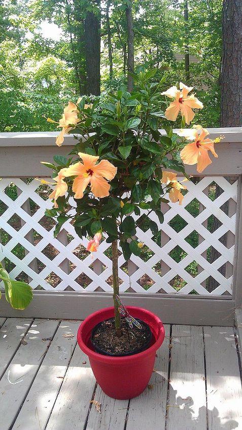 Overwintering Plants Hibiscus Hometalk