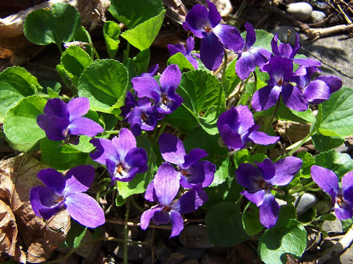 There are large sections of my garden under the cover of mature trees, and so I welcome anything that can take the shade. Resilient little troopers, Violets have now self-seeded into both sunny and shaded crevices throughout my garden.