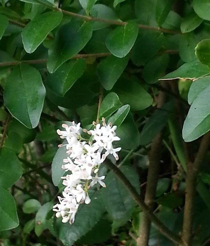 mystery shrub in my garden, flowers, gardening