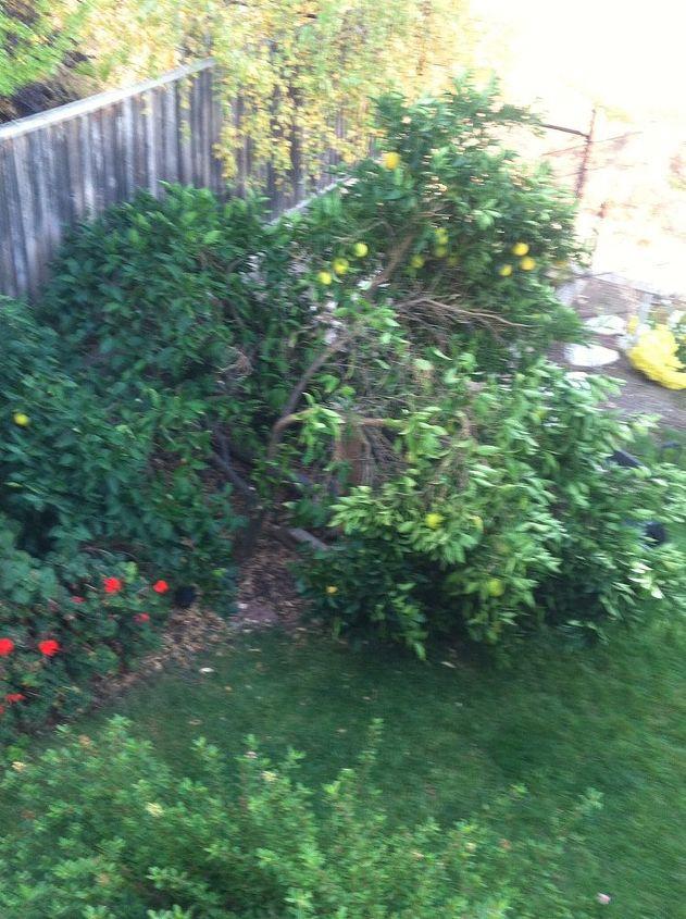orange tree collapsed, gardening