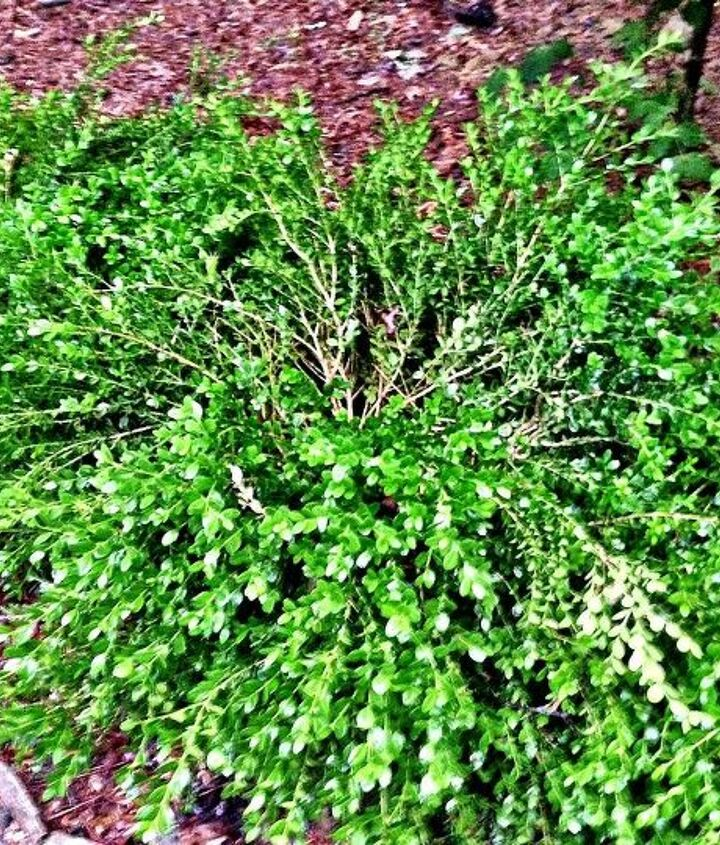 what is causing my boxwoods to look like this, gardening
