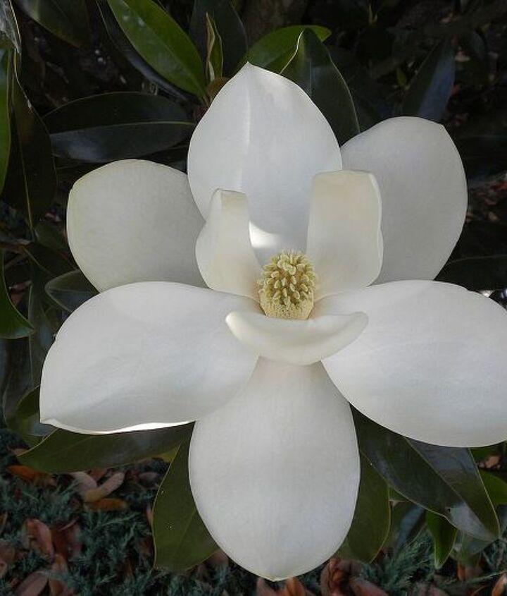 Magnolia (June)