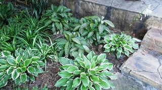 q hostas in florida, flowers, gardening, These are Florida Sun Hostas they are doing very very well here