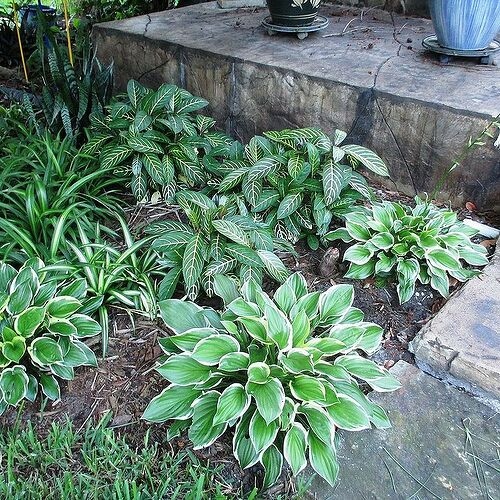 These are Florida Sun Hostas & they are doing very, very well here.