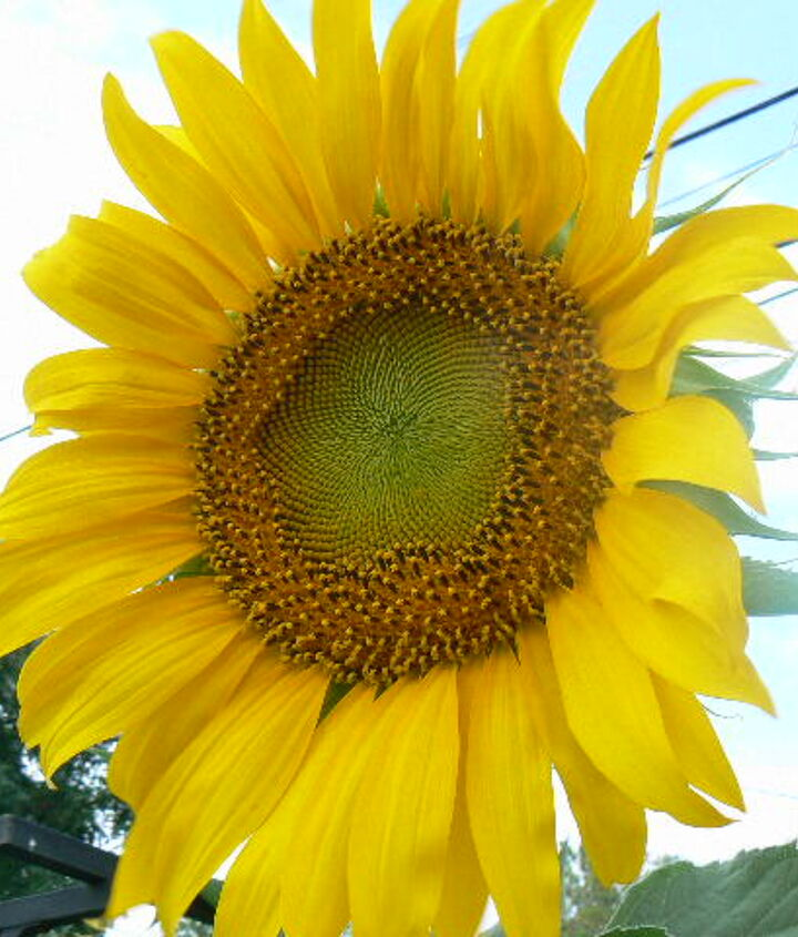 My sunflowers. I just love them.
