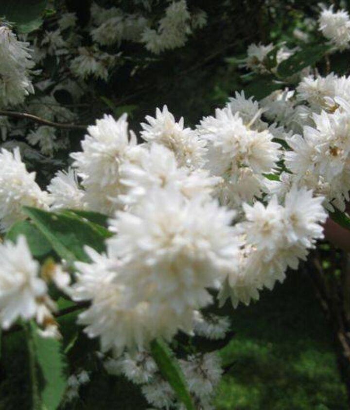 can anyone identify this tree or shrub, flowers, gardening, hydrangea