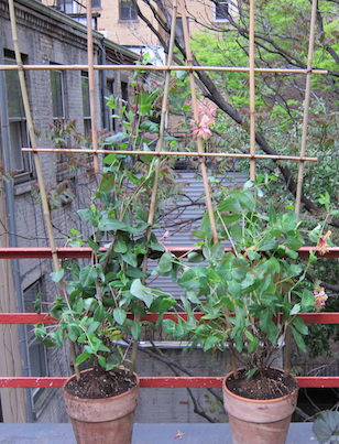 """Beyond the trellis you can see the white aluminum siding in my neighbor's (photo 10) garden. """"Story"""" re this image is @ http://www.thelastleafgardener.com/2011/05/love-thy-neighbor-but-dont-pull-down.html"""
